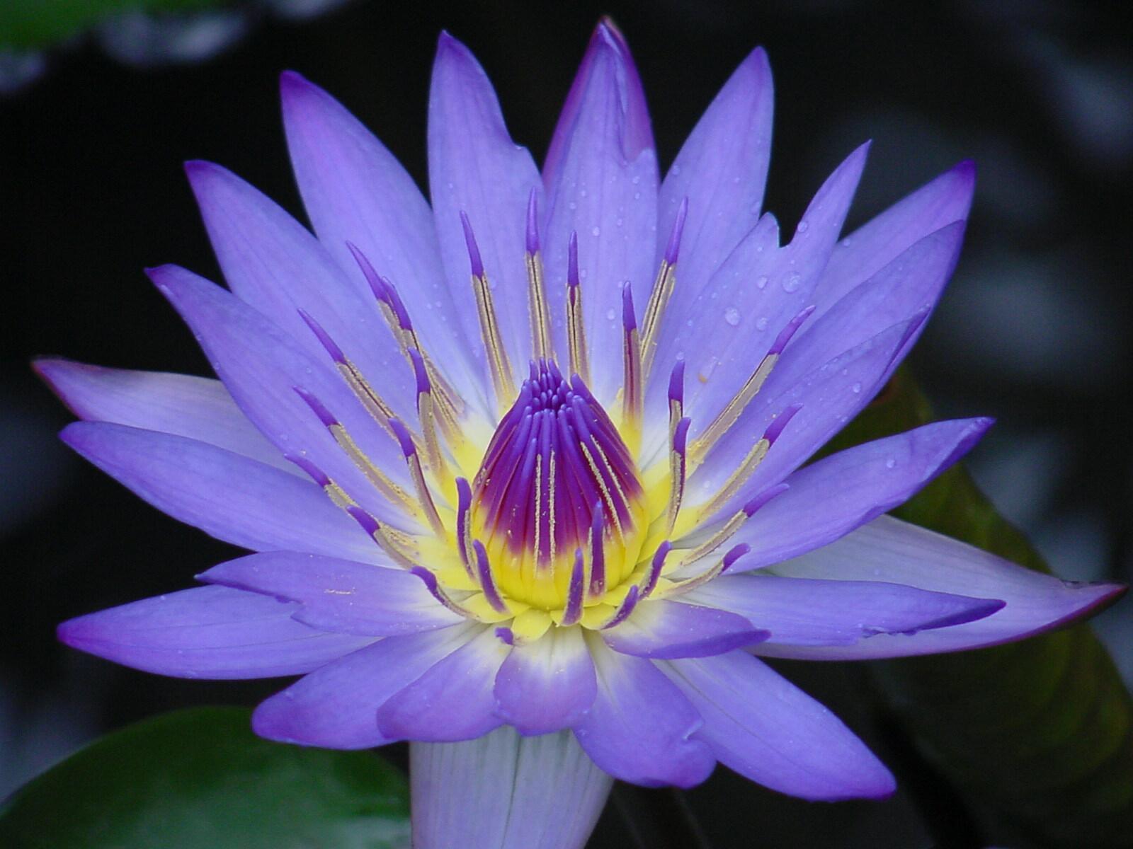 Цветок синяя лилия
